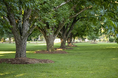 Pecan tree row just mulched
